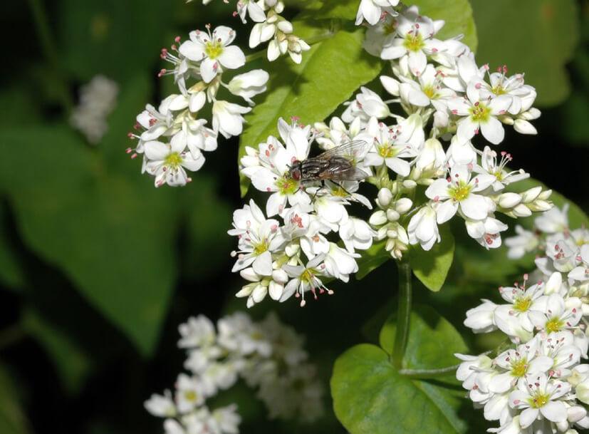 gryka zwyczajna (Fagopyrum esculentum)