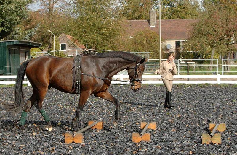 Horse being lunged on a cavesson
