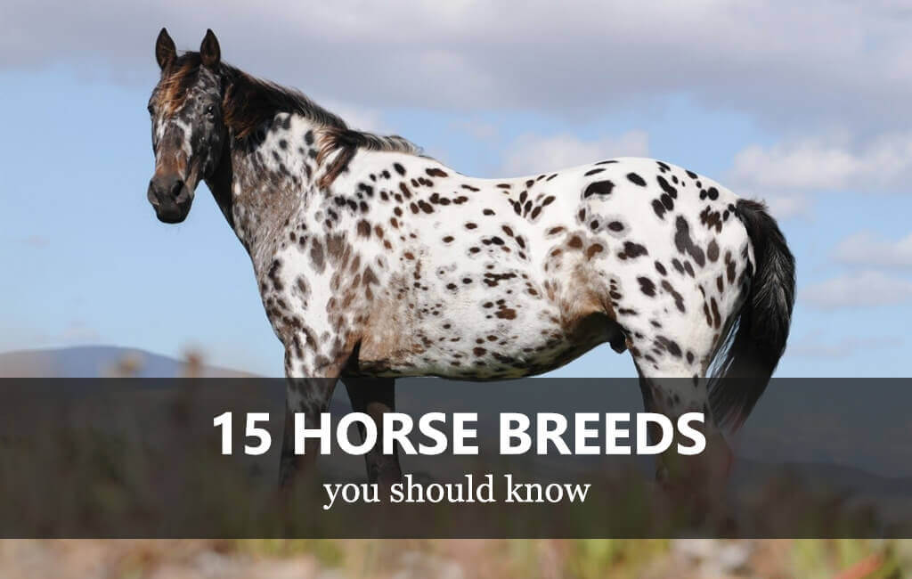15 Horse Breeds You Should Know Equishop Equestrian Shop