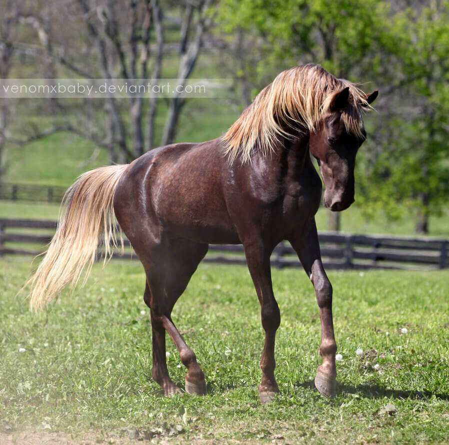 Sorrel - dark chestnut coated horse
