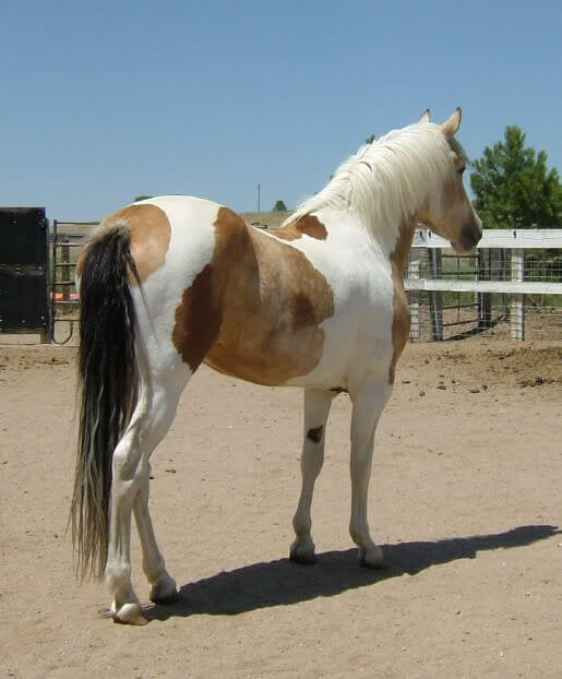 Calico Tobiano patterned horse