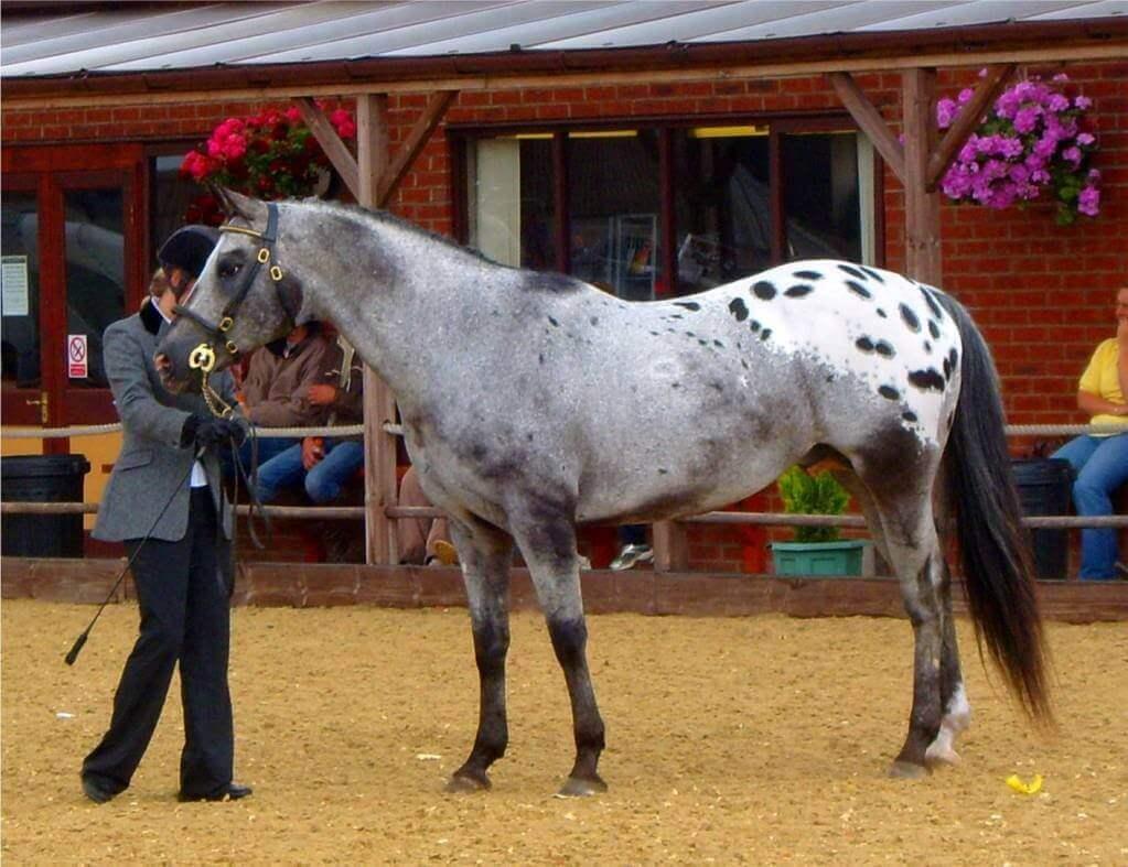 Wzór maści derka u konia