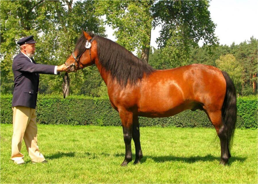 koń huculski
