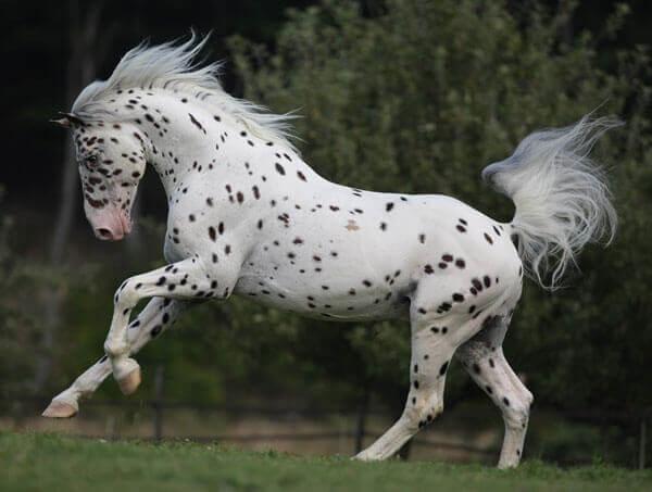 Maść leopard u konia