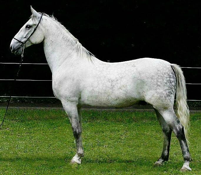 Koń lipicański 1