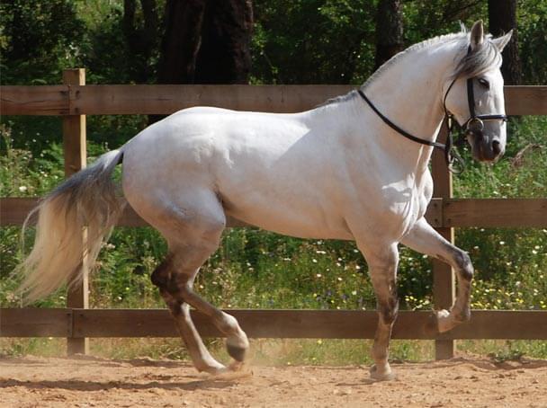 Koń lipicański 2