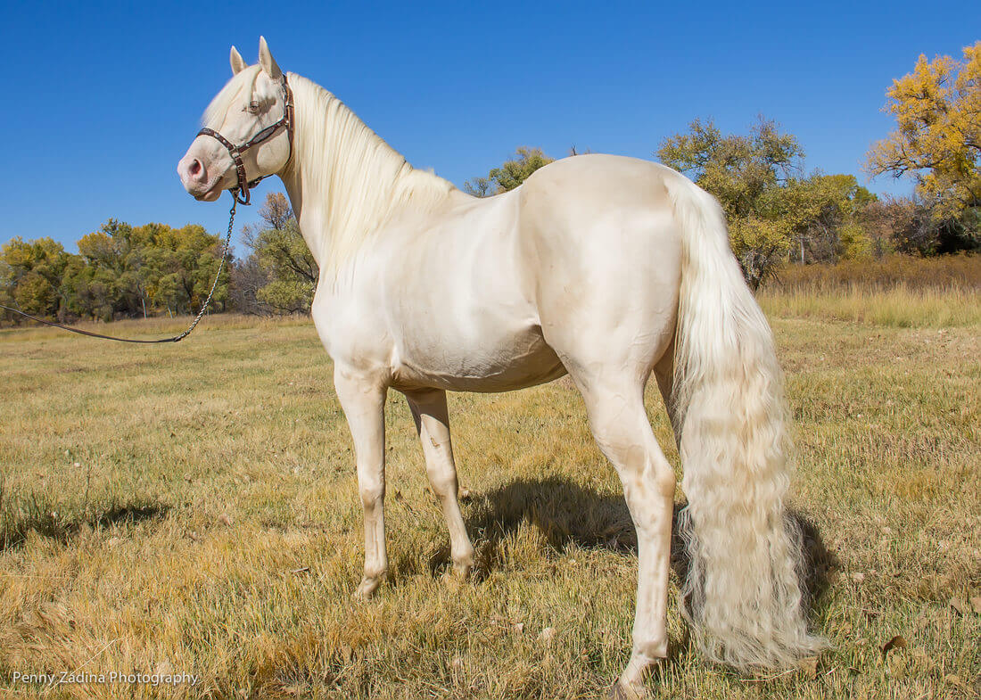 Maść cremello u konia
