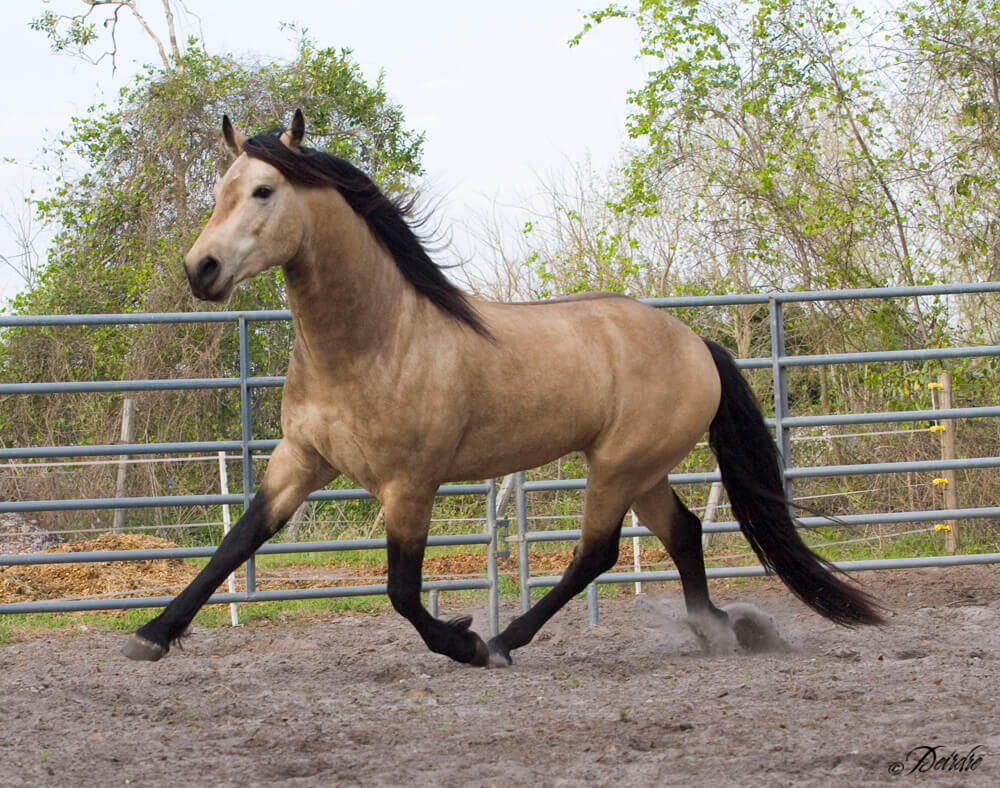 Buckskin coated horse