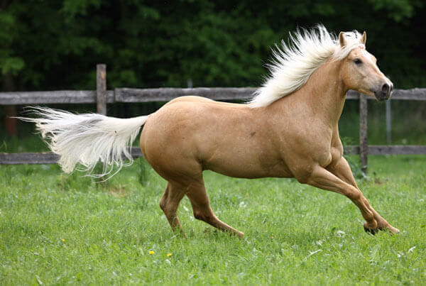 Palomino coated horse