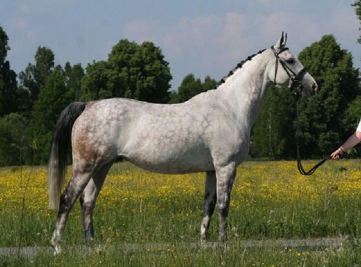 koń małopolski