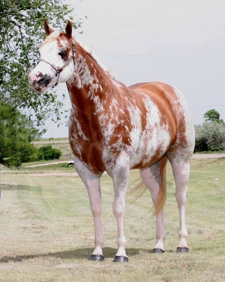 Maść sabino u konia