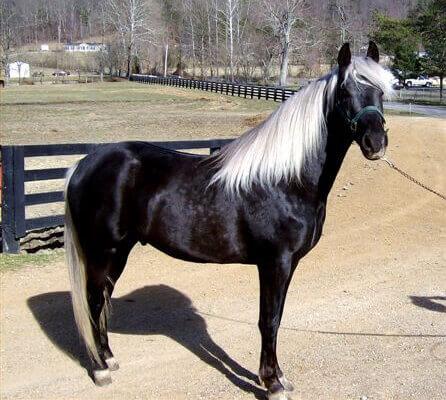 Maść srebrna kara u konia