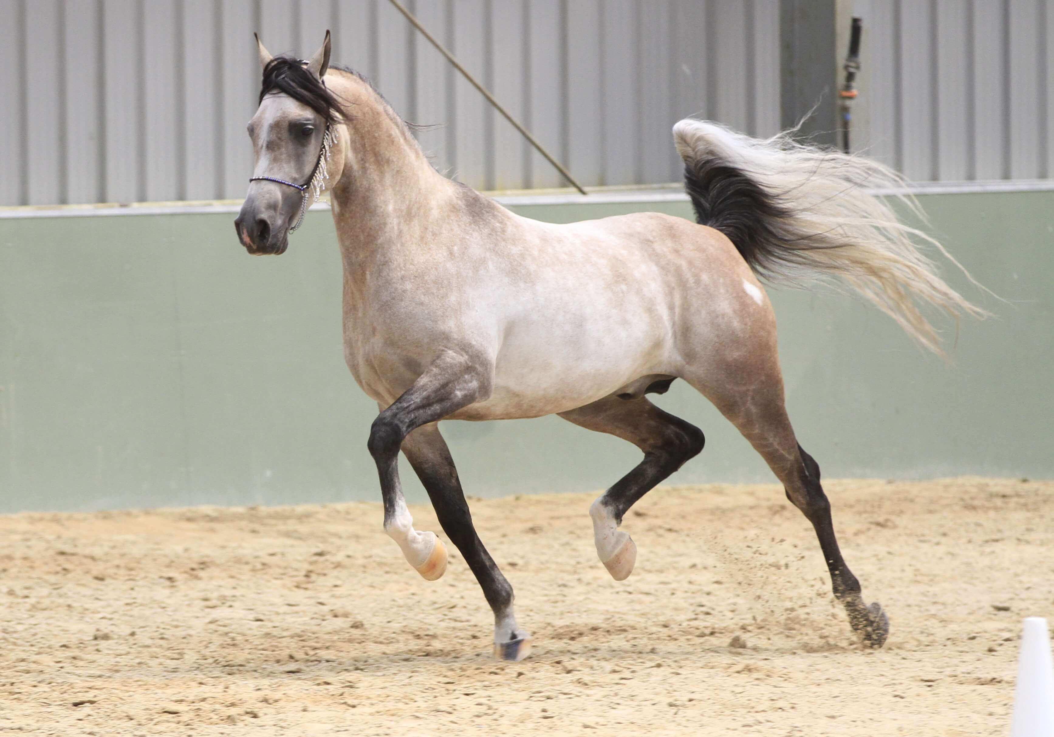 Maść szpak różany u konia