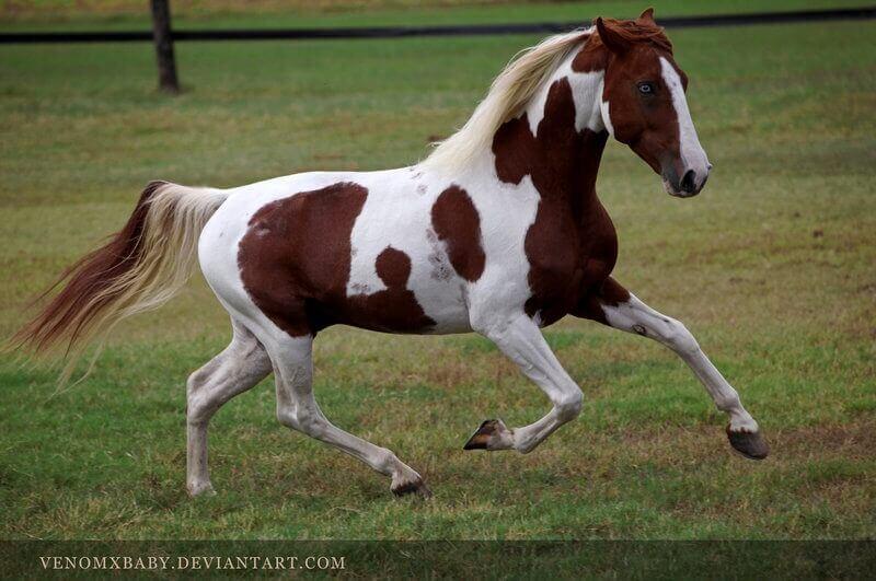 Maśc tobiano u koni