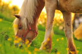 Poisonous plants - what might impair your horse's health, part 1